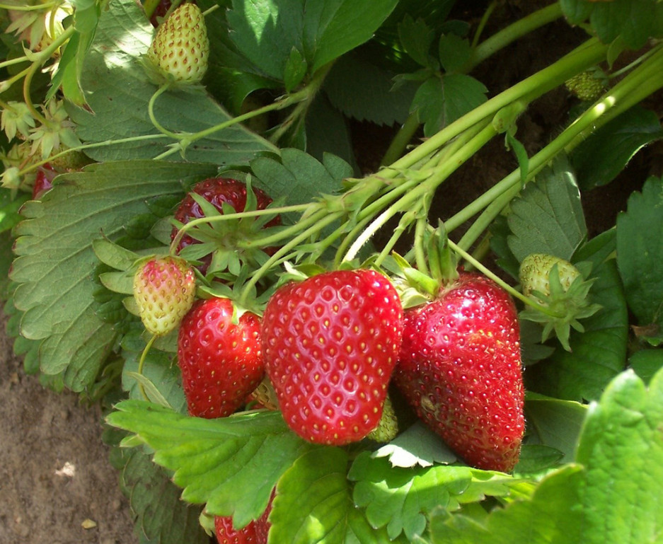 """Totem"" is a June-bearing strawberry that produces medium- to large-size fruit with very good flavor. (Photo by Bernadine Strik)"