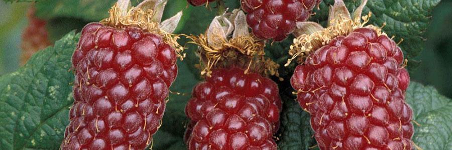 Berry Good!